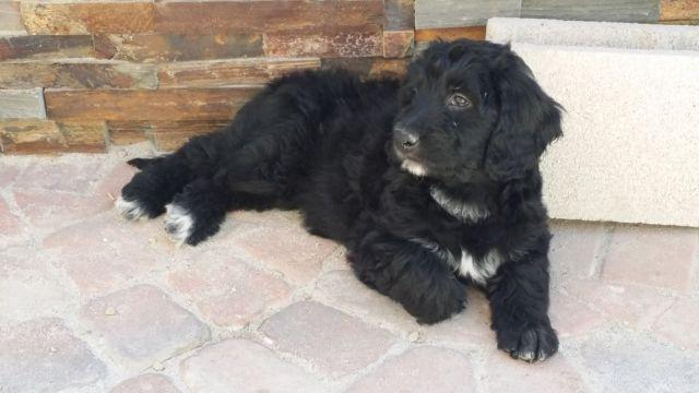 Golden Mountain Doodles Puppies For Sale In Sun City