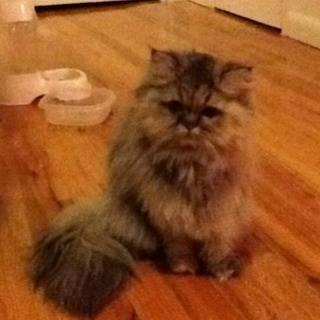 Golden Persian female CFA