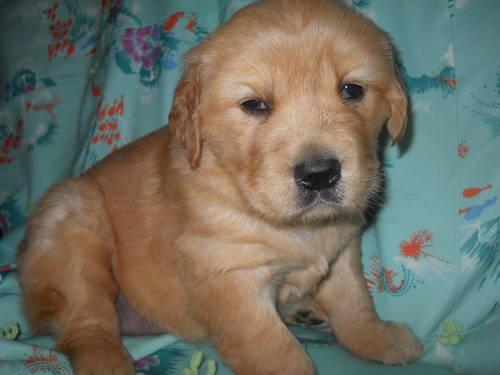 GOLDEN RETRIEVER - AKC - FEMALE - READY 12/7/13
