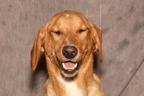 Golden Retriever - Heidi - Large - Adult - Female - Dog