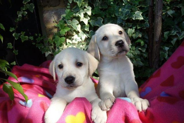 Dogs Golden Retriever Puppies Pets And Animals For Sale In The Usa