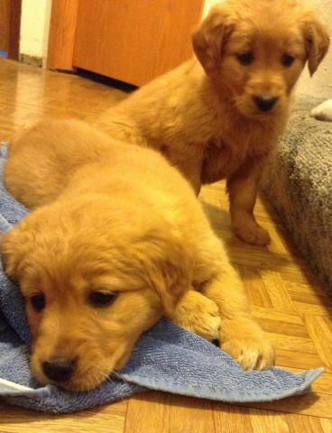 Golden Retriever Puppies 3 Females For Sale In Little Falls