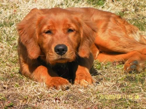 Golden Retriever Puppies Akc For Sale In Arch Rock Pennsylvania