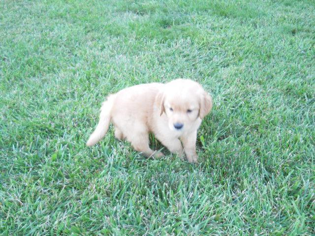 GOLDEN RETRIEVER PUPPIES - AKC - HEALTH GUARANTEED