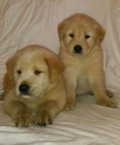 Mastador Puppies For Sale In Houston Texas Classifieds Buy And