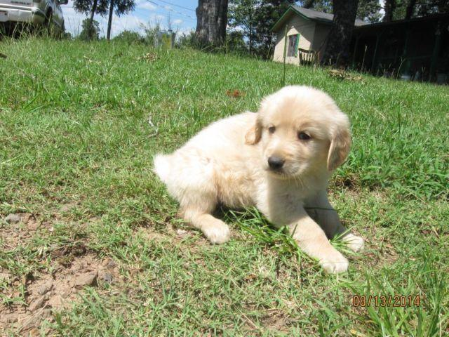 Comfort Retriever For Sale In Arkansas Classifieds Buy And Sell In
