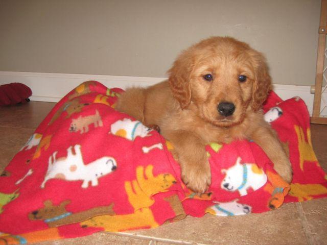 free golden retriever puppies iowa