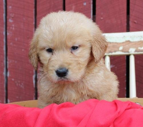 Golden Retriever Puppies For Sale For Sale In Los Angeles