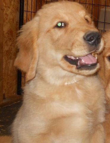 Golden Retriever Puppies Price Lowered For Sale In Belfair