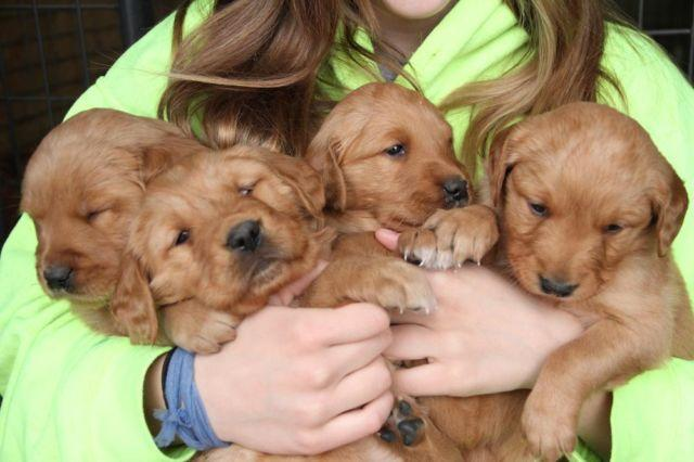 Golden Retriever Puppies Red Color Great Hunting Lines Pet For