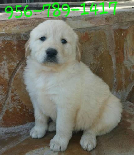 Golden Retriever Puppies Registered