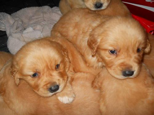 Golden Retriever Puppy - AKC Female - Ready 4/13 -