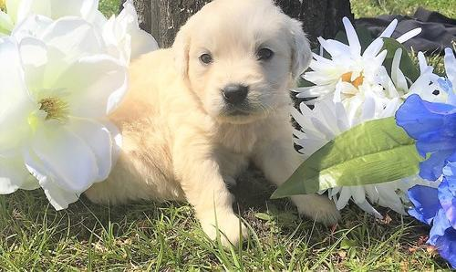 Golden Retriever Puppy For Sale Adoption Rescue For Sale In