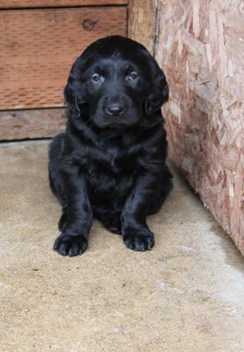 Golden Retriever Puppy for Sale - Adoption, Rescue for Sale