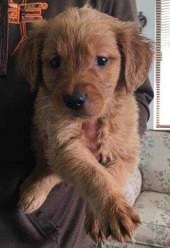 Golden Retriever Puppy for Sale - Adoption, Rescue