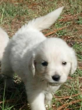 Golden Retriever Pups English Cream For Sale In Clermont Florida