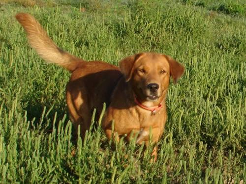 Golden Retriever Red Cadence Grace Aka Gracie Great For Kids For