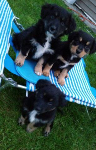 Pets And Animals For Sale In Tacoma Washington Puppy And Kitten