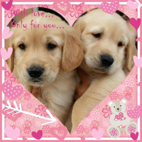 golden retrievers puppies 8 weeks old perfect for valentine 39 s for sale in south gate. Black Bedroom Furniture Sets. Home Design Ideas