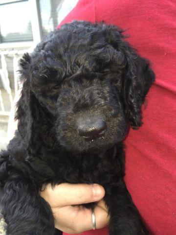 Goldendoodle Female 7 Weeks old ready 5/9