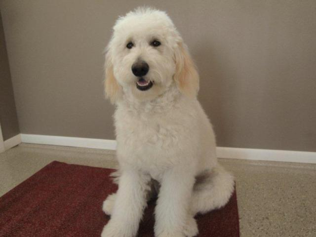 Goldendoodle Pets And Animals For Sale In Minnesota Puppy And