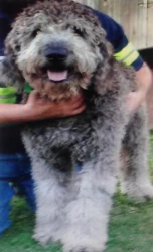 Goldendoodle & Labradoodle for Sale in Idalou, Texas