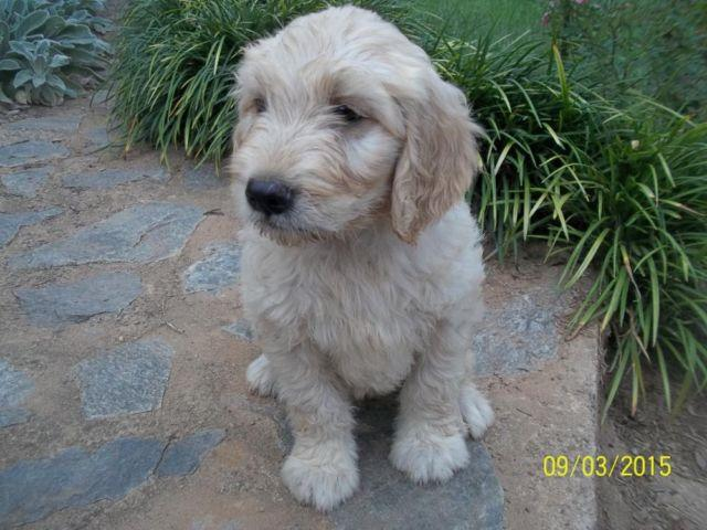 Goldendoodle MALE - Cream color / Blue Collar