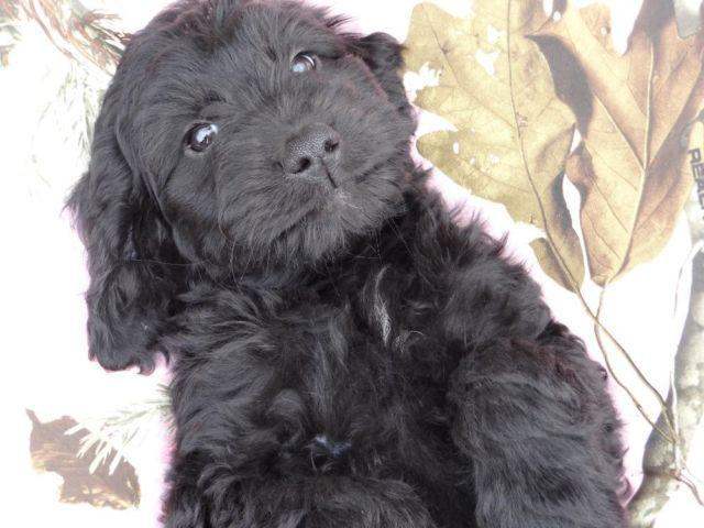 Goldendoodle Puppies F1 12 Weeks Black For Sale In Clarks Grove