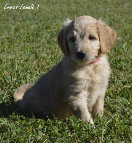 Goldendoodle puppies females for sale in bryan kentucky classified