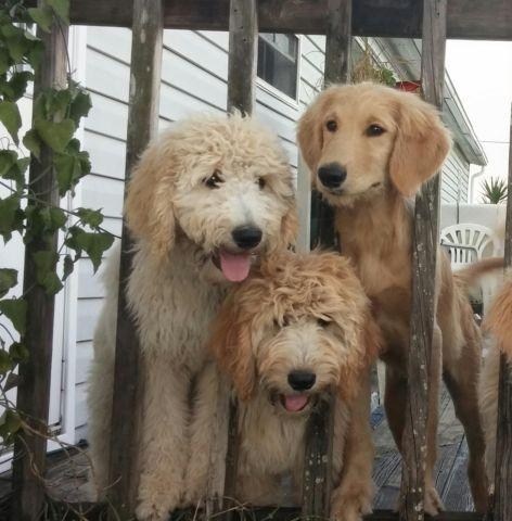 goldendoodle puppies 16 weeks old for sale in plant city florida classified. Black Bedroom Furniture Sets. Home Design Ideas