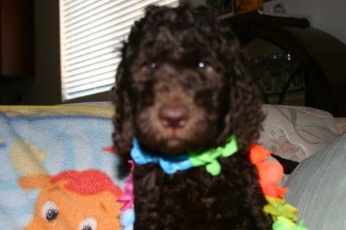 Goldendoodle Puppies For Sale In Maricopa Arizona