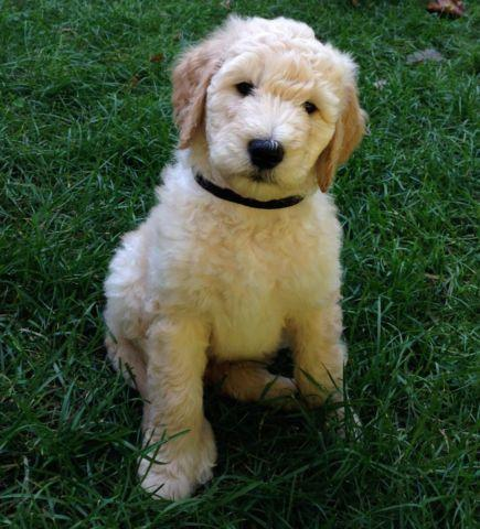 Goldendoodle Puppies For Sale In Lansing Michigan Classified Americanlisted Com