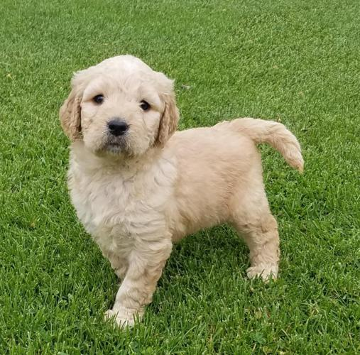 Goldendoodle Puppies For Sale In Granger Washington Classified