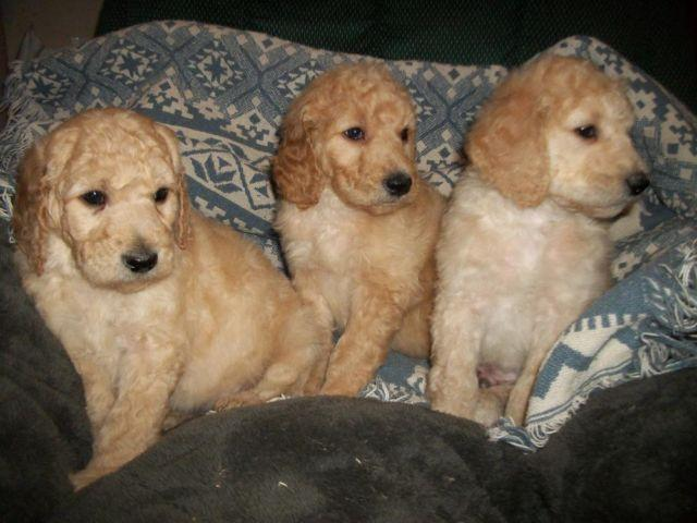 Goldendoodle Puppies!!! F1b- Least Likely Generation to