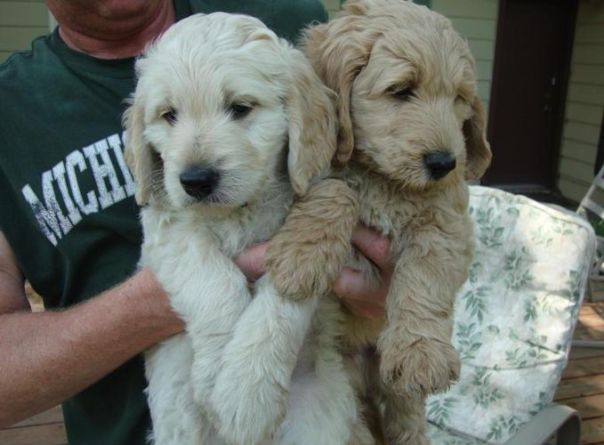 Goldendoodle Puppies!!! F1b- Least Likely Generation to Shed! REDUCED