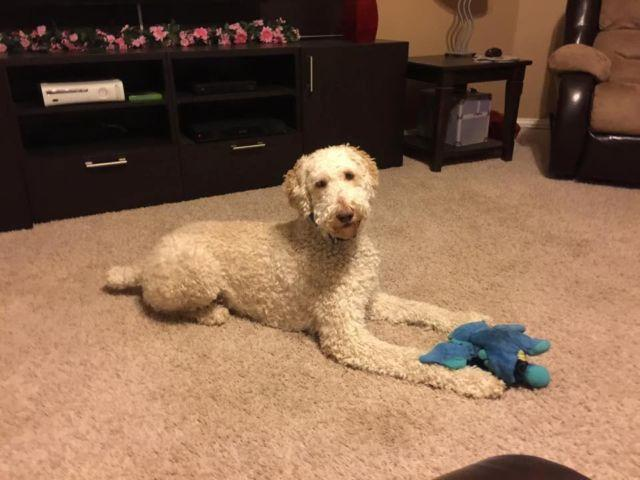 Goldendoodle Puppies F1b For Sale In Garland Texas