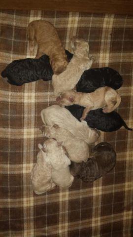 GOLDENDOODLE PUPPIES F1b Medium size