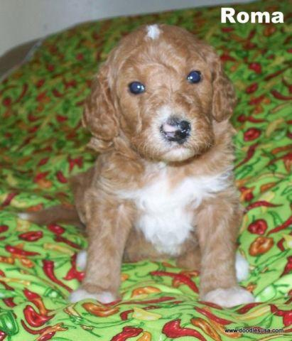 Goldendoodle Puppies F1bb Males And Females For Sale In