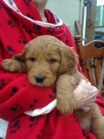 Goldendoodle Rescue Dogs For Adoption