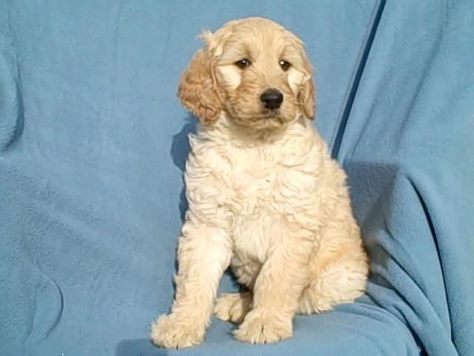 Goldendoodle For Sale In Michigan Classifieds Buy And Sell