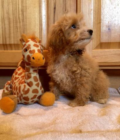 Goldendoodle Puppies Min/Med size