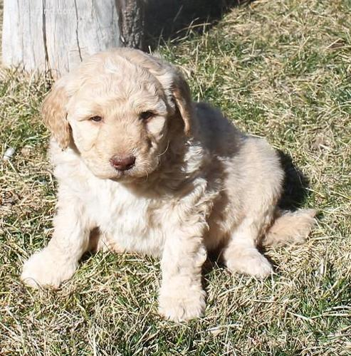 Goldendoodle Puppies Ready