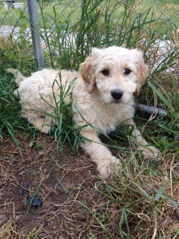 Goldendoodle Puppies Ready For Easter For Sale In Dunn