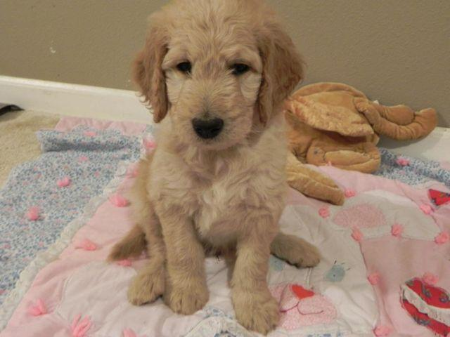 Goldendoodle Puppies Super Smart And Hypoallergenic For