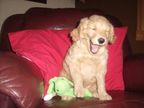 GOLDENDOODLE PUPPY, F1