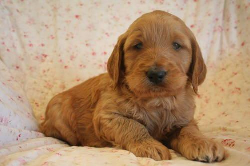 GOLDENDOODLE PUPPY F1B APRICOT GOLD MALE for sale in Nortonville    F1b Apricot Goldendoodle