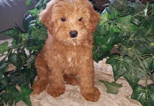 Goldendoodle Puppy for Sale - Adoption, Rescue for Sale in West