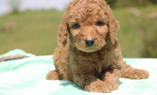 Goldendoodle Puppy For Sale Adoption Rescue For Sale In Memphis
