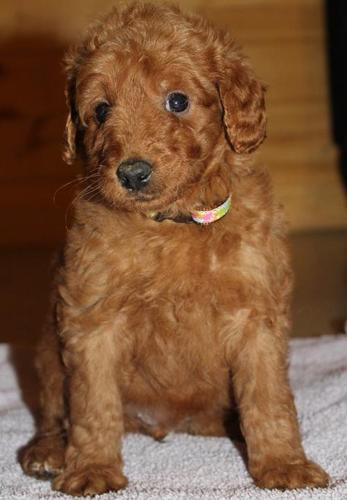 Goldendoodle Puppy for Sale - Adoption, Rescue for Sale in Exeter