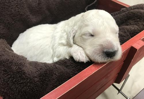 Goldendoodle Puppy For Sale Adoption Rescue For Sale In Brighton